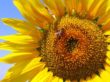 sunflower-plant-flower-yellow-60119.jpeg